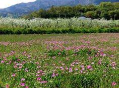 「田園風景 れんげ」の画像検索結果