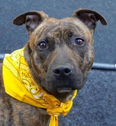 RTO SAFE❤️ 5/2/16 Manhattan Center NATALYA – A1071416 FEMALE, BR BRINDLE / WHITE, AM PIT BULL TER MIX, 1 yr STRAY – STRAY WAIT, NO HOLD Reason STRAY Intake condition UNSPECIFIE Intake Date 04/25/2016, From NY 10465, DueOut Date 04/28/2016,