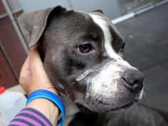 SAFE (by Best Friends Animal Society) --- Manhattan Center   LEO - A1018743 *** AVERAGE HOME ***  MALE, GRAY / WHITE, PIT BULL MIX, 2 yrs OWNER SUR - EVALUATE, NO HOLD Reason OWN EVICT  Intake condition UNSPECIFIE Intake Date 10/25/2014, From NY 10040, DueOut Date 10/25/2014,  https://www.facebook.com/photo.php?fbid=896663810346499