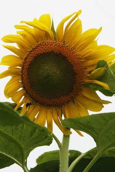 Sunflower farm in New Jersey