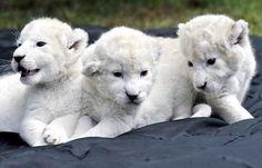 León branco