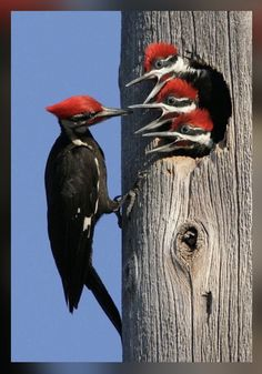 836 Best Pileated Woodpecker Other Peckers Images In 2019
