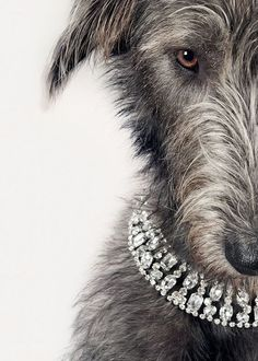 [ IRISH WOLF HOUND ] #bejeweled #irishwolfhound ... OK .. now my girl Roisin wants some bling, too!