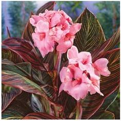 Pink Sunburst Canna Colors: Dark Red, Peach, Pink Deer Resistant: Yes Max Height (feet): 3 Plant Lighting: Full Sun, Partial Sun/Shade Season Color: Summer Spread: Zones: Canna Lily, Canna Flower, Flower Pots, Cactus Flower, Tropical Landscaping, Tropical Garden, Tropical Plants, Exotic Flowers, Pink Flowers