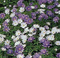 Anemone   Garden Guides