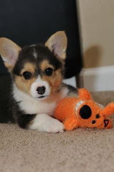 Tiny corgi puppy playing with a dog toy.