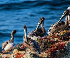 """#California #Carmel#Carmelbythesea#BigSur Gorgeous cool mountain morning looking out at the """" Brown Pelicans """" resting on the rocks. #livingbythesea #livingthedream#lifeissweet#producer #director #film#art#photography #photo#songwriter #guitar #look#lifeisgood#happy#joy#love#thankful#gratitude #peace#mindfulness #zen #calocals - posted by Patti's Studio https://www.instagram.com/pattisstudio23 - See more of Big Sur, CA at http://bigsurlocals.com"""