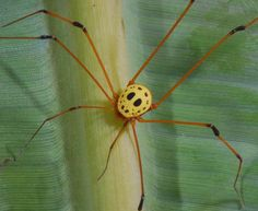 """Opilião """"Máscara de Jason"""" (Simambea sp.; família Cosmetidae), encontrado no Equador. Apesar da semelhança com o protagonista de um filme de terror, não é venenoso."""