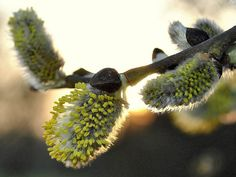 spring birth -(willow catkins) by mujepa, via Flickr