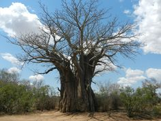 The Southern most Baobab tree