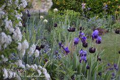 Wiesenknopfschreibselei: Mein Maigarten - Wenn Iris nana, Allium, Tulipa, Geranium und Phlox blühen.