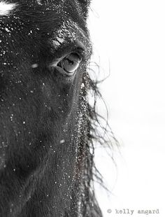 """Horse Photograph  black and white horse photography  by kellya, $30.00 ~ """"Original photograph featuring amazing detail of a black horse in a winter storm. Look closely...there's a reflection of another horse in his eye!!! Fine art horse photography; signed by Kelly Angard."""""""