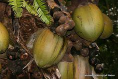 Coco de mer on tree Honeydew, Onion, Flora, Fruit, Vegetables, Seychelles, Onions, Plants, Vegetable Recipes
