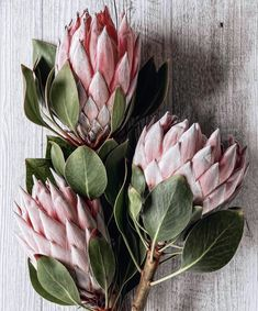 Protea sugarbush pink with dark green leaves Beautiful Flowers Wallpapers, Most Beautiful Flowers, Exotic Flowers, Pretty Flowers, Protea Plant, Protea Flower, Fleur Protea, Flower Power, African Plants