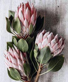Protea sugarbush pink with dark green leaves Flor Protea, Protea Plant, Protea Flower, Beautiful Flowers Wallpapers, Most Beautiful Flowers, Pretty Flowers, Exotic Plants, Exotic Flowers, Tropical Flowers