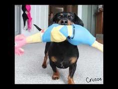318c7d72f60 145 Best Crusoe & Oakley images | Dachshund dog, Dachshund love ...