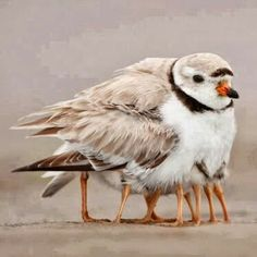 Not a 10 legged bird! This is a beautiful shot of a piping plover mother with 4 chicks underwing. @Maine Audubon  is working to protect this endangered species in Maine