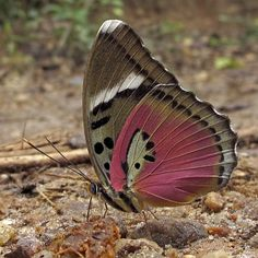 The Common Pink Forester Euphaedra xypete is a butterfly in the Nymphalidae family It is found in GuineaBissau Guinea Sierra Leone Liberia Ivory Coast Ghana Togo Nigeria. Flying Flowers, Butterflies Flying, Butterfly Kisses, Butterfly Flowers, Butterfly Place, Beautiful Bugs, Beautiful Butterflies, Moth Caterpillar, Butterfly Pictures