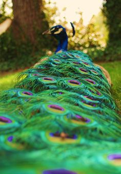 sunneinsplendor: In the process of editing photos from two trips ago to Maryhill Museum. They have the most patient peacocks I've ever encountered, this one let me take pictures lying down behind it with an elbow propped in its tail feathers for balance.