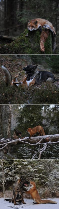 Meet Tinni the dog and Sniffer the fox. Those two found each other in the Norwegian woods and became the best friends ever since.
