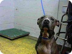 💥 NO LONGER AVAILABLE 😝Atlanta, GA - American Pit Bull Terrier. Meet RIEYA, a dog for adoption. http://www.adoptapet.com/pet/16748837-atlanta-georgia-american-pit-bull-terrier