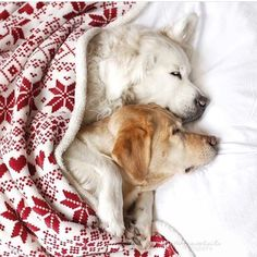 Golden retrievers, snuggled in bed