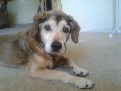 Paula - Beagle/Canaan mix • Senior • Female • Medium Meade Canine Rescue Creston, CA She is good as gold, quiet and house trained and minds her own business. Lovely old gal who just wants to rest and relax for the rest of her days.