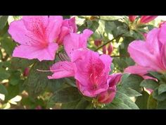 ▶ Plants for a Shaded Garden | At Home With P. Allen Smith - YouTube