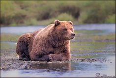 Patiently Waiting For Salmon! - Lake Clark Nat Park, Home of some huge Coastal Brown bears
