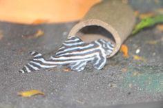 Gebe schön gezeichnete Junge L46 Welse ab. Grösse 3 bis 4 cm.  Die jungen Welse sind gesund und munter und fressen alle gängigen Futtersorten. Die Tiere sind Allesfresser und sollten bei Temperaturen von 28 Grad gehalten werden  Die Tiere können in 3065 Bolligen bei Bern abgeholt werden  Bitte Termin unter 079 702 39 10 als Tel/sms/whatsup vereinbaren  90 Chf/tier  ab 4 tiere rabatt : 80 CHF / Tier