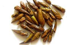 Balm of Gilead buds, Gilead whole buds, dried Black Poplar bud - megson