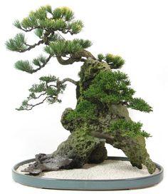 N109_maedchenkiefer_pinus_pentaphylla_bonsai.jpg 692×800 pixels