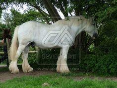 White shire