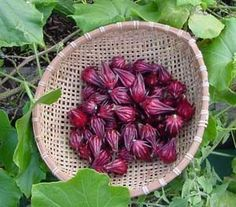Roselle Seeds by MrNature on Etsy, $5.50