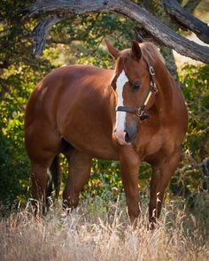 Quarter horse - Chestnut gelding named Red.