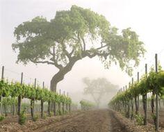 Firestone Vineyard & Winery, Los Olivos, CA. Caves, California Dates, Champagne, Murals Your Way, Wine Vineyards, Sauvignon Blanc, Cabernet Sauvignon, In Vino Veritas, Napa Valley
