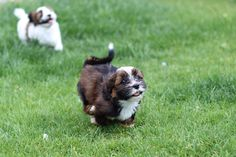Zuchon Shichon Puppies!