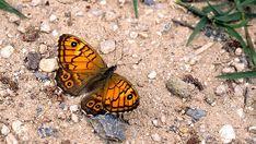 Beautiful Butterflies, Finland, Butterfly, Nature, Plants, Animals, Butterflies, Dragon Flies, Naturaleza