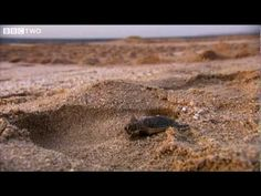 Baby Turtles - Tropic of Cancer - BBC Two