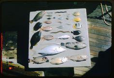 Portion of the fish collected by Waldo Schmitt off the coast of Matiti Island, Tikahau, 1957  Field Books of Waldo LaSalle Schmitt (1887-1977)