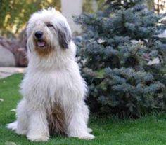 Ciobanesc mioritic (shepherd mioritic) originally from Bucovina, Romania Unusual Dog Breeds, Rare Dog Breeds, Shepherd Puppies, Shepherd Dog, Huge Teddy Bears, Massive Dogs, Dog Breed Info, Puppy Find, English Sheepdog