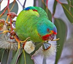 Half of entire parrot species seen in one flock - Australian Geographic Pretty Birds, Beautiful Birds, Animals Beautiful, Exotic Birds, Colorful Birds, All Birds, Love Birds, Australian Parrots, Bird Pictures