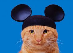 Disney's Cat Obsession - Disneyland owns about 200 cats! While they probably love the cute creatures, their pets have another purpose. Every night, the cats are released in the park to hunt down all the little Mickeys and Minnies. The park first started employing cats in the 1950's and now the program has grown tremendously