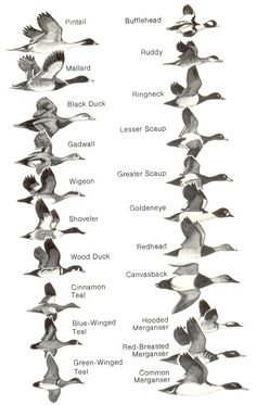 Duck Identification Chart | Comparative Size Chart | Flyways.us