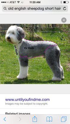 Doodle hair cut