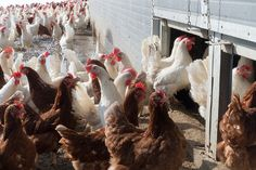 Factory Farming and Confined Animal Feeding Operations (CAFO)—Worldwide Distributors of Disease