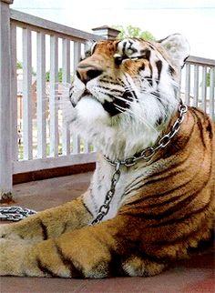Shiva the Tiger - The Kingdom - The Walking Dead