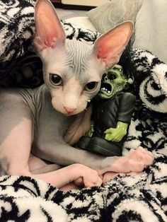 Sphinx cat, they are the pugs (besides the fact that Persians actually are) of the cat world, so ugly they're cute