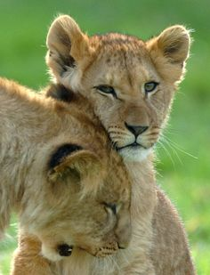 Baby Pictures of New Arrivals at Longleat Safari Park: Playful Lion Cub Bonds With its Mother at Longleat