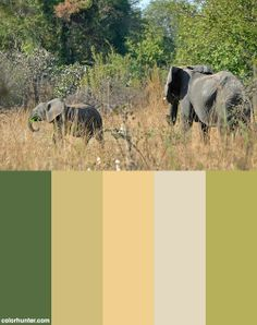 African Bush Elephant With Youngster Color Scheme